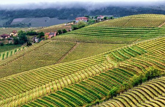 Canelli Vineyards