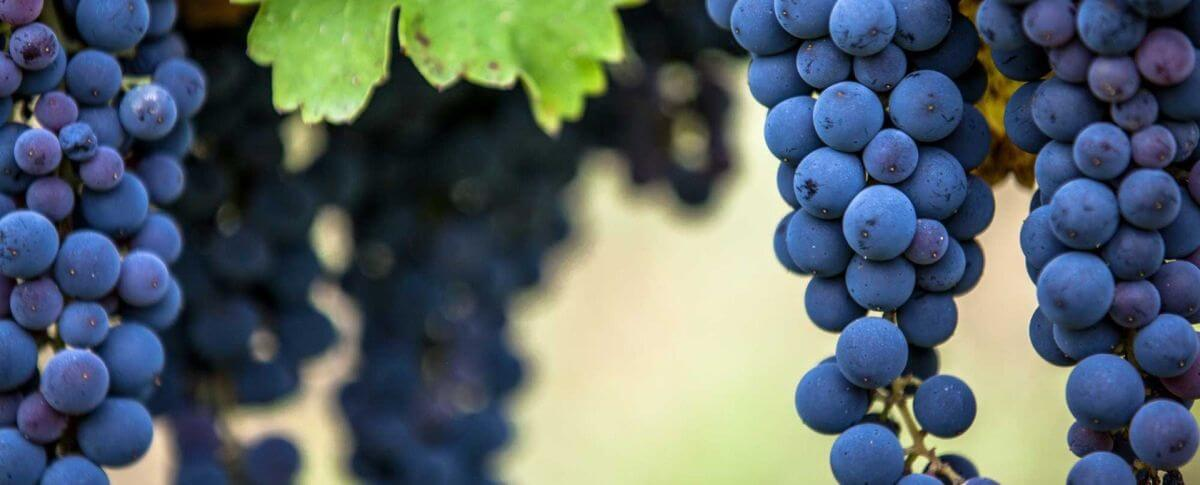 Barbaresco grapes