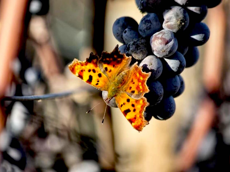 Butterfly in vineyard with grape