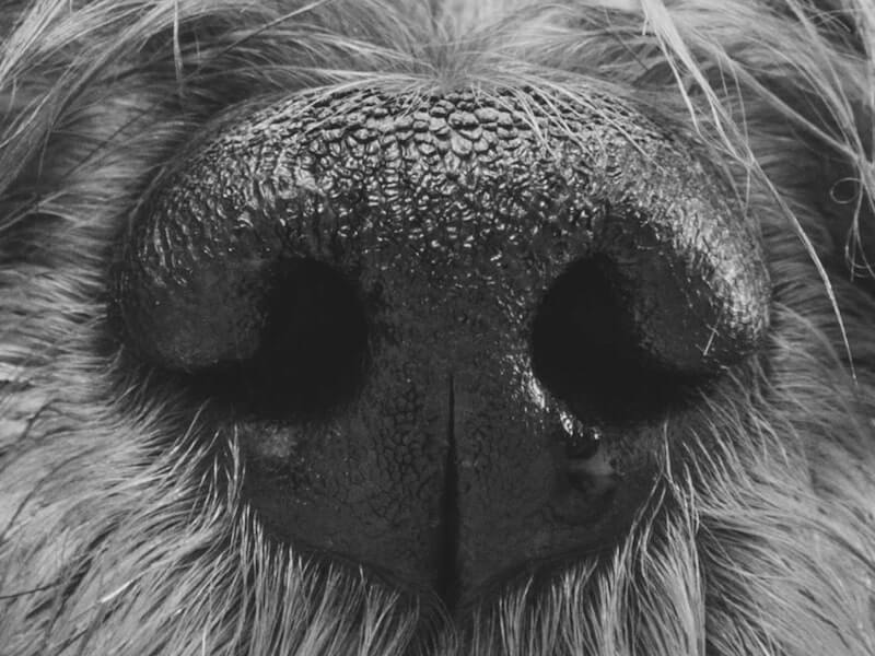 Truffle dog nose