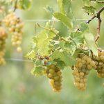 moscato wine tours