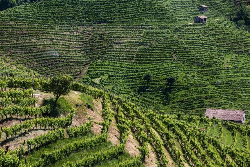 moscato vineyard