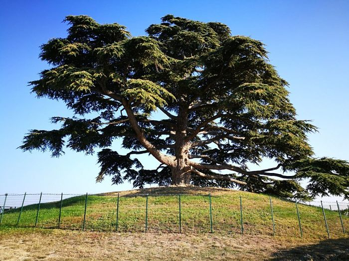 Lebanese Cedar Tree