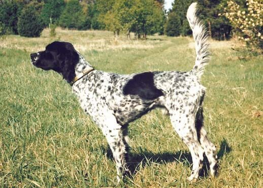 Truffle hunter Setter in Woods