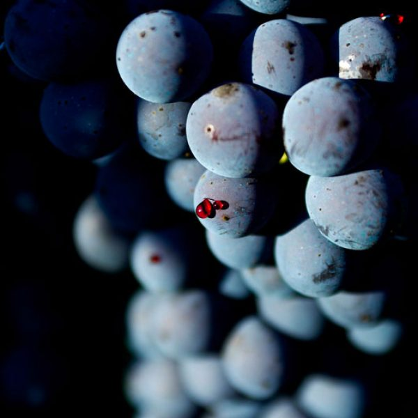 Nebiolo Red Grapes